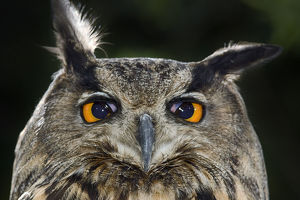 happy/eagle owl bubo bubo portrait translucent nictitating