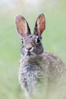 north american wildlife/eastern cottontail sylvilagus floridanus laredo