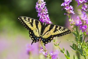 north american wildlife/eastern tiger swallowtail butterfly papilio glaucus