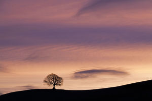 tranquility/english oak quercus robur silhouetted horizon