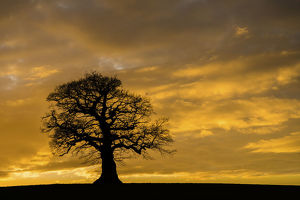 trees/english oak tree quercus robur sunset monmouthshire