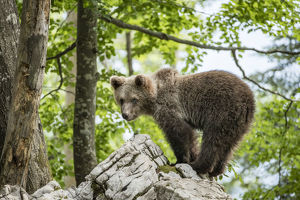 december 2018 highlights/european brown bear ursus arctos juvenile standing