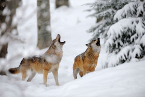 wolves/european grey wolves canis lupus howling winter