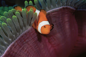 latest highlights/highlights 2009/false clown anemonefish amphiprion ocellaris