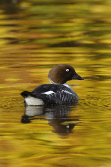 autumn/female goldeneye bucephala clangula lake autumn