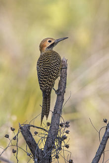 july 2019 highlights/fernandinas flicker colaptes fernandinae cuba