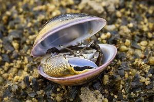 wild wonders china/fiddler crab uca male hiding old shell ha pak