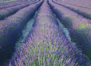 latest highlights/highlights 2009/fields lavander flowers ready harvest sault provence