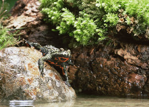 weird ugly creatures/fire bellied toad bombina bombina