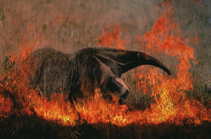 latest highlights/highlights 2009/giant anteater grassland fire myremecophaga tridactyla