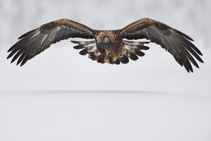 july 2019 highlights/golden eagle aquila chrysaetos flight snow
