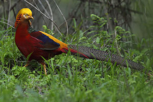 december 2018 highlights/golden pheasant chrysolophus pictus male walking