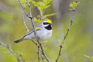 north american birds/golden winged warbler vermivora chrysoptera perched