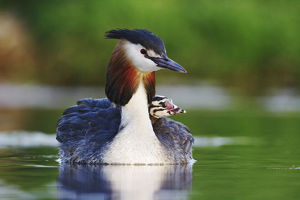 baby animals/great crested grebe podiceps cristatus carrying