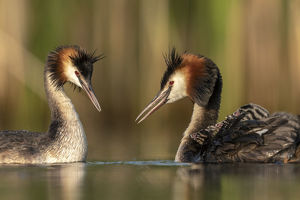 july 2019 highlights/great crested grebe podiceps cristatus adults
