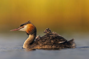july 2019 highlights/great crested grebe podiceps cristatus adult