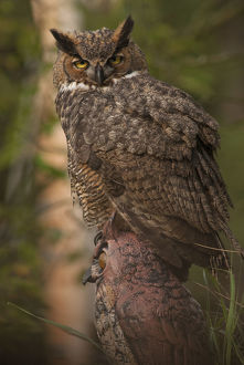 north american birds/great horned owl bubo virginianus juvenile perched