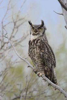 north american birds/great horned owl bubo virginianus adult female