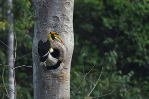 wild wonders china/great pied hornbill buceros bicornis bird photographed