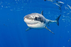 happy/great white shark carcharodon carcharias guadalupe