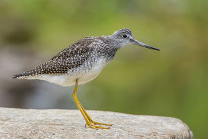 july 2019 highlights/greater yellowlegs tringa melanoleuca standing rock