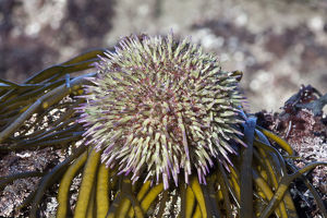 marine life channel islands sue daly/green sea urchin psammechinus miliaris channel