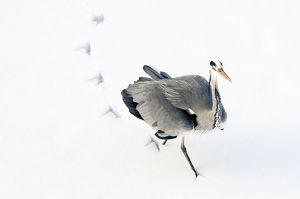 latest highlights/highlights 2011/grey heron ardea cinerea leaving footprints