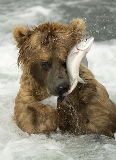 north american wildlife/grizzly bear ursus arctos catching fish brooks