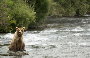 danny green/grizzly bear ursus arctos fishing rapids brooks