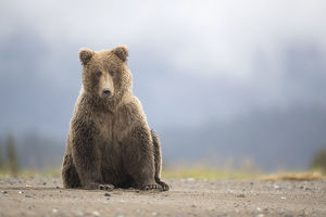 north american wildlife/grizzly bear ursus arctos resting lake clarke