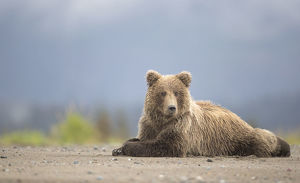 danny green/grizzly bears ursus arctos resting lake clarke