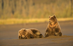 north american wildlife/grizzly bears ursus arctos resting lake clarke