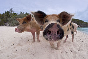 pigs/group young domestic pigs sus domestica beach