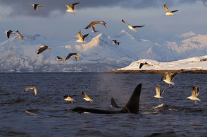 whales/gulls flying killer whales orcas orcinus orca