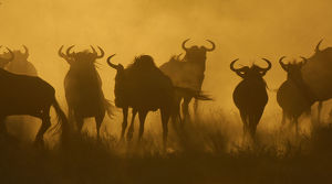 latest highlights/highlights 2011/herd wildebeest connochaetes taurinus silhouetted