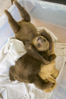 happy/hoffmanns two toed sloths choloepus hoffmanni