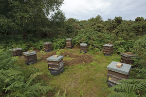 2020vision/1/honey bee apis mellifera beehives sited edge