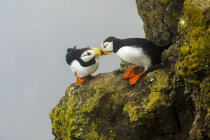 north american birds/horned puffins fratercula corniculata pair interacting