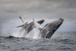 july 2019 highlights/humpback whale megaptera novaeangliae breaching