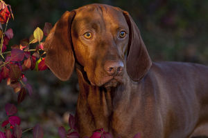 latest highlights/highlights 2011/hungarian vizsla portrait autumn foliage connecticut