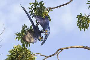 july 2019 highlights/hyacinth macaw anadorhynchus hyacinthinus playing