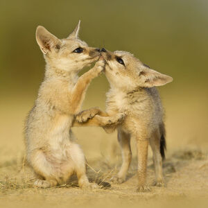 baby animals/indian fox vulpes bengalensis pups play den