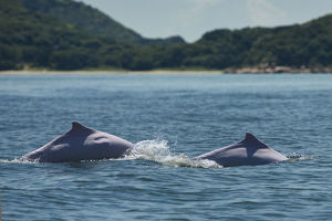 wild wonders china/indo pacific humpback dolphins sousa chinensis