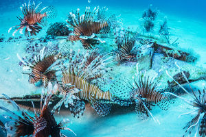 july 2019 highlights/invasive lionfish pterois volitans taken wiping