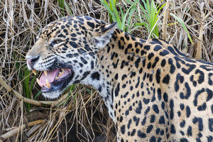 december 2018 highlights/jaguar panthera onca female smelling scent