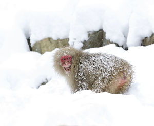 happy/japanese macaque macaca fuscata grinning aggressively
