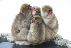 snow monkeys/japanese macaque macaca fuscata group huddling