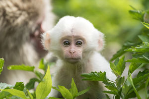 baby animals/japanese macaque macaca fuscata fuscata mother