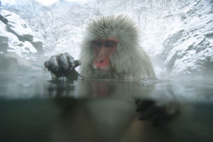latest highlights/highlights 2009/japanese macaque snow monkey macaca fuscata