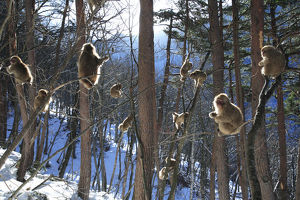 magic moment/japanese macaque snow monkey macaca fuscata